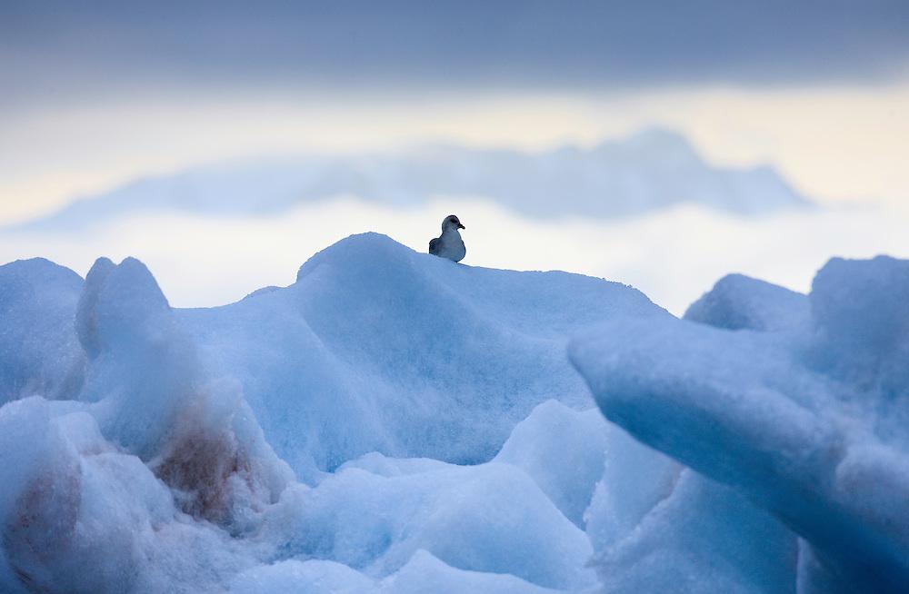 Northern Fulmar, Fulmarus glacialis, Spitsbergen, Svalbard