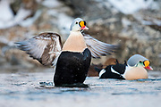 King Eider, Somateria spectabilis, male, Barents Sea, Varanger, Norway