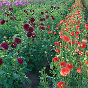 FIELD OF DAHLIAS AT A PLANT NURSERY IN OREGON