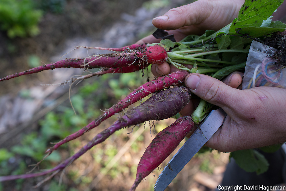 Heirloom radishes grown from seeds obtained from local farmers  Birrificiao Agricole di Montcalieri