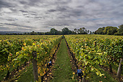 Under stormy skies, seasonal workers from Romania start picking the Pinot Noir grapes at the Redfold Vineyard which produces English Sparkling wine in East Sussex.