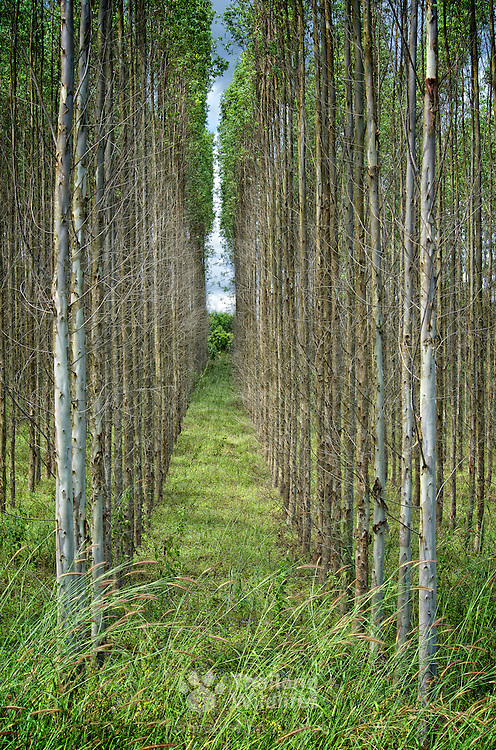 Lines of straight eucalyptus trees in Thailand. The tree plantations are springing up all over the country as the hybrid can grow to maturity in 3 years and supply the paper pulp industry in an environmentally sustainable way.