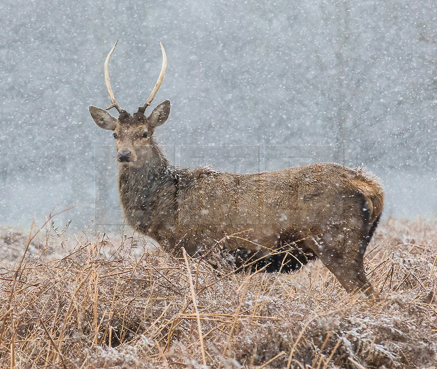 © Licensed to London News Pictures. 17/03/2018. London, UK. Deer in Bushy Park, southwest London, as more snow falls over the capital. Photo credit: Rob Pinney/LNP