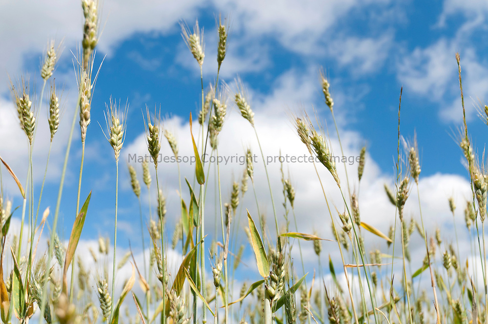 Wheat on summer sky