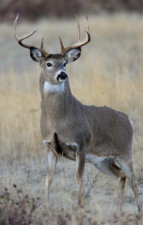 White-tailed Buck (Odocoileus virginianus), North America