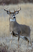 White-tailed Buck (Odocoileus virginianus), North America