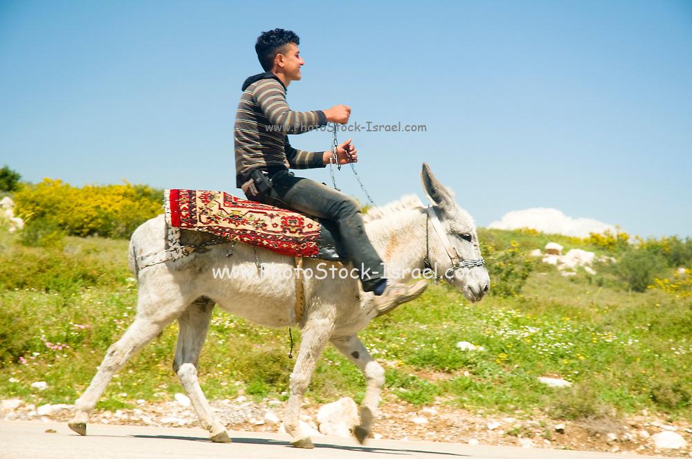 Israel, West Bank, Palestine, Samaria, Dotan Valley, Young Palestinian on a donkey .