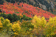 Beautiful Fall / Autumn colors up along the Battle Creek Trail, Uinta Mountains at the foot of the West side of Mount Timpanogos, above Pleasant Grove, Utah...Hermosos colores de Otoño.  Battle Creek Trail, al lado Oeste del Monte Timpanogos, sobre Pleasant Grove, Utah...Photo © 2009 by German Silva