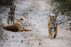 Three Bengal tigers in the wild (Panthera tigris tigris) waking up and starting to walk down a pathway ,Ranthambhore National Park, Rajasthan, India,