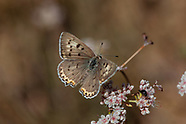 Lycaena x. xanthoides - Great Copper
