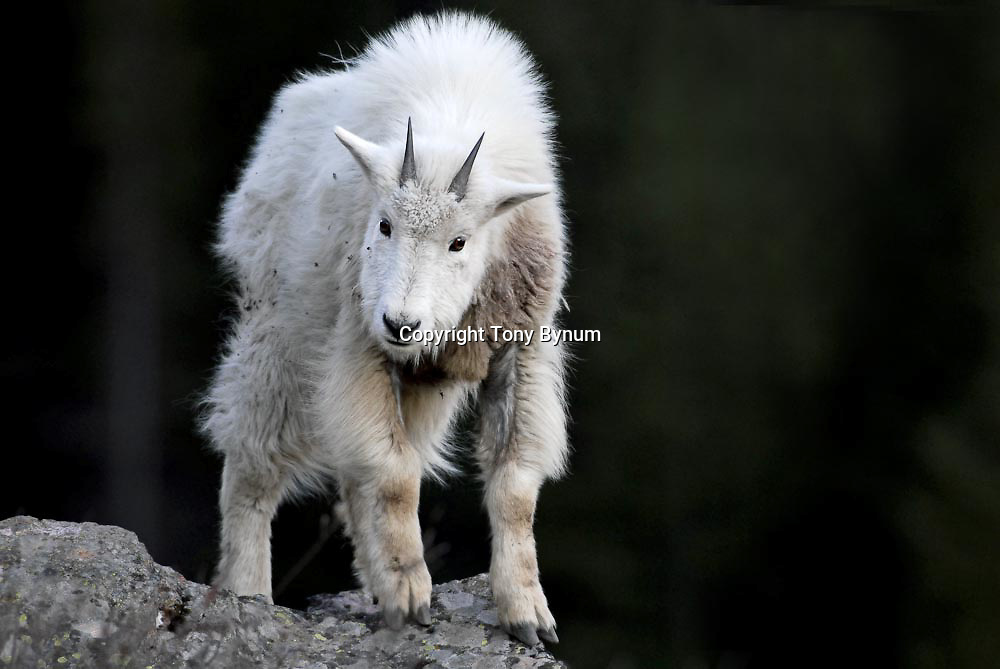 small white boy mountain goat kid sanding on gray rock with black background tiney little hornes