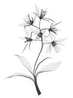 X-ray image of a Dendrobium orchid stalk (Dendrobium 'Stephen Batchelor', black on white) by Jim Wehtje, specialist in x-ray art and design images.