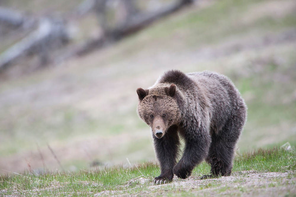 Grizzly Bear - Ursus arctos - Yellowstone National Park