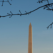 The top of the Washington Monument against a mostly clear blue sky in Washington DC. In the foreground is a branch of the famous cherry trees around the Tidal Basin before it has flowered.