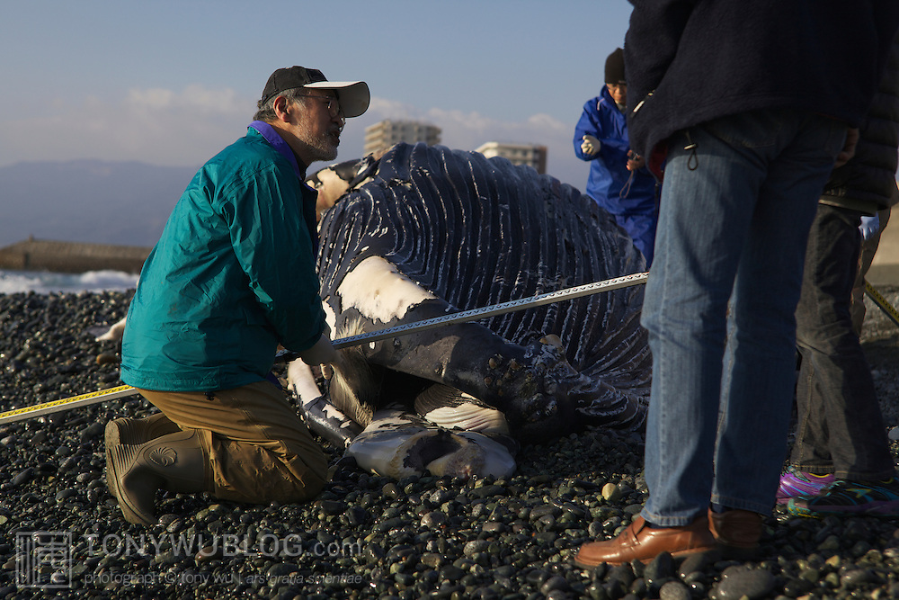 Researchers assessing humpback whale calf (Megaptera novaeangliae) that washed ashore on 3 January 2012 in Odawara, Japan. Measured 6.87 meters long and was male. Cause of death unknown. This humpback whale calf is the third smallest one recorded to date that has stranded or washed ashore in Japan. It is the third deceased calf to have been found in the 2011-2012 breeding and calving season. Members of the science community recording measurements for Japan's cetacean stranding database.