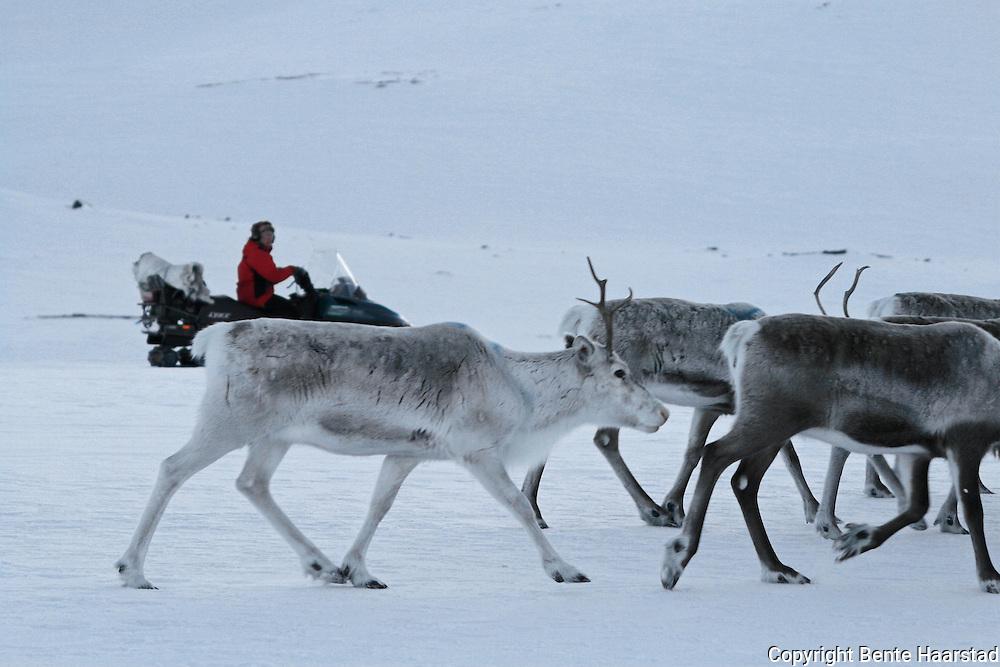 Reindeer herding in Mid-Norway. Flytting til kalvingsland og sommerbeiter i sørsamisk reindrift. Saanti Sijte, Essand reinbeitedistrikt.