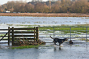 © Licensed to London News Pictures. 03/01/2014. Godalming, UK. A dog runs in the floodwater.  Flooding in Godalming. River Wey bursting it's banks in Surrey today 3rd January 2013. Floods an heavy rain are continuing to effect travel and people across the country today. Photo credit : Stephen Simpson/LNP