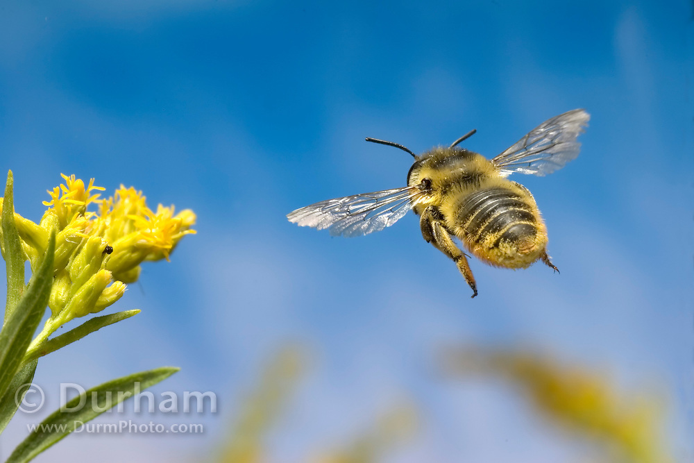 A leafcutter bee (Genus: Megachile) flies toward a goldenrod flower (Solidago sp.) to collect nectar and pollen.