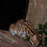 Wild leopard cat (Prionailurus bengalensis) - Thailand.
