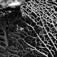 Cabbage black and white