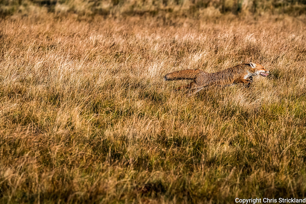 A Red Fox galloping through grass on open moorland.