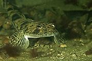 """""""Arrival"""" Flathead (Platycephalus bassensis) - Tasmania"""