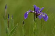 Iris, Acadia National Park, Mount Desert Island, Maine