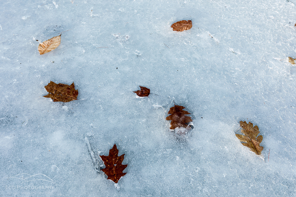 Leaves in the ice on the frozen Bellamy Reservoir in Madbury, New Hampshire.