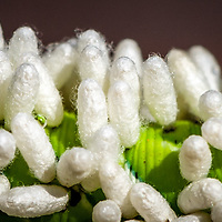 Parasitic Wasp eggs on a Tomato Hornworm  close up.<br /> All Content is Copyright of Kathie Fife Photography. Downloading, copying and using images without permission is a violation of Copyright.