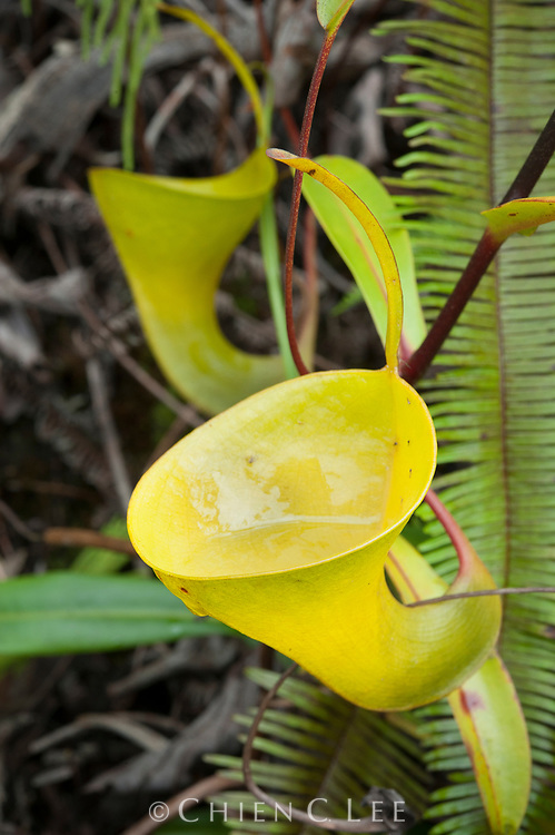 The thin pitcher lid and complete lack of a peristome make this Sumatran pitcher plant (Nepenthes inermis) unique in the genus. It has unusually viscous pitcher fluid that may aid in trapping insects. West Sumatra, Indonesia.