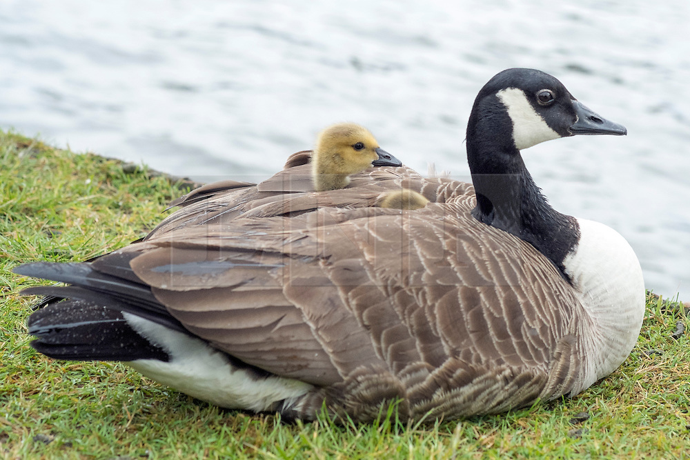 © Licensed to London News Pictures. 26/05/2014. Hampton Wick, UK. One of the gosling peeks out of the mothers protective wing.  A mother Canadian goose protects her young goslings from heavy bank holiday rain on the banks of the River Thames at Hampton Wick today 26th May 2014. Photo credit : Stephen Simpson/LNP