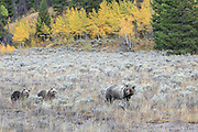 Grizzly Bears in Autumn Habitat