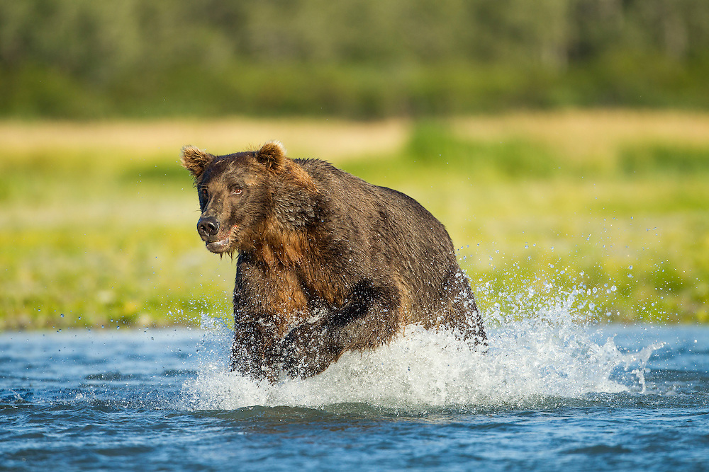 USA, Alaska, Katmai National Park, Coastal Brown Bear (Ursus arctos) runs while fishing in salmon stream along Kukak Bay