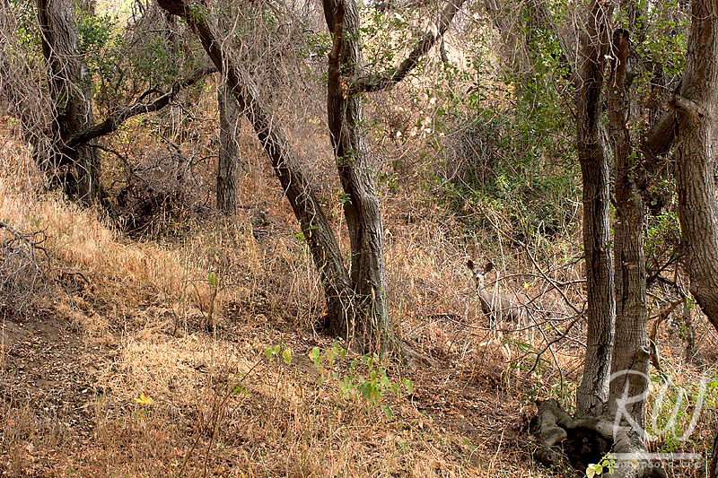 Deer in Oak Forest, Big Dalton Canyon Wilderness Park, Glendora, California