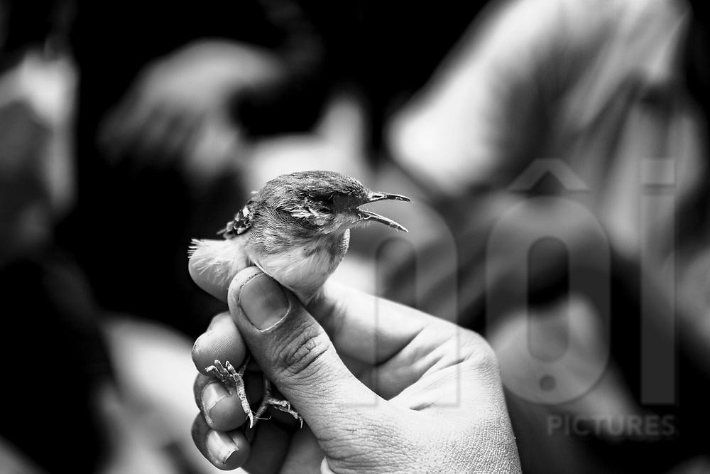 Man holds a tiny bird in his hand, Yogyakarta, Indonesia, Southeast Asia