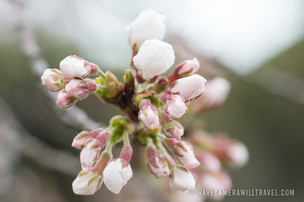 "It's a rainy morning at the Tidal Basin, as the National Park Service judges that 70 percent of the blossoms have now reached the ""puffy white"" stage. Some trees are now in full bloom, but most are at least a few days away."