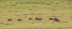 Part of a group of approximately 80 caribou traveling near Polychrome Pass in Denali National Park and Preserve in Alaska. Unlike other caribou herds in Alaska, the Denali is considered non-migratory. The herd does however still move within various types of areas of the park based on the season in the year. Unlike the giant herds seen elsewhere in Alaska, the Denali herd consists of approximately 2,000 caribou. Caribou and reindeer are the same species with reindeer being a European subspecies.