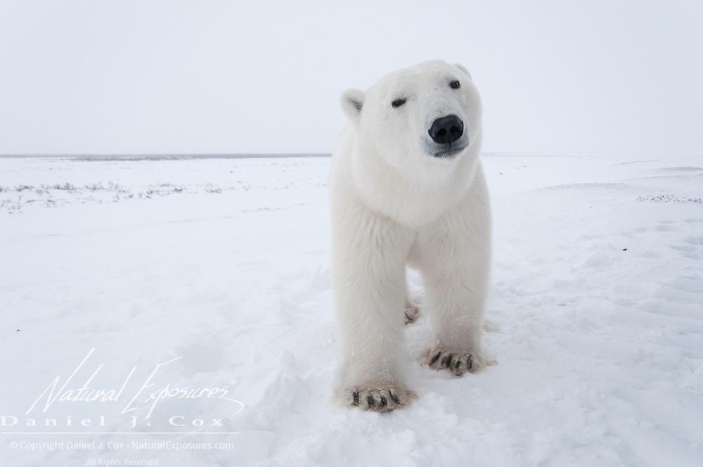 Polar Bear near Cape Churchill, Manitoba, Canada.