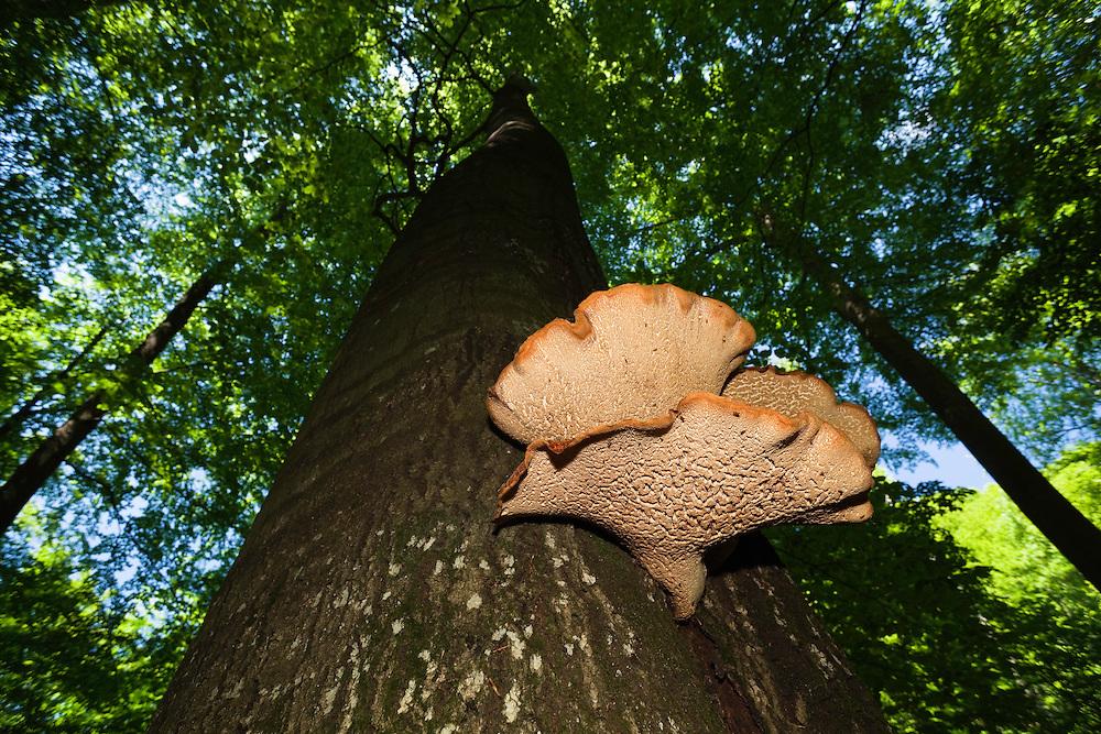 Huge Mushroom growing on tree in Rozok Primeval Forest, Poloniny National park, Western Carpathians, Slovakia, Europe