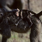 Chacma Baboon, (Papio ursinus) Young riding on back of mother sleeping. Kruger National Park. South Africa.