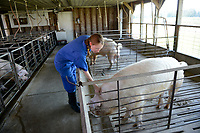 Students work in the swine unit off Lake Wheeler road. Photo by Marc Hall