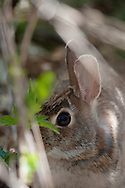 Eastern Cotton Tail Rabbit hiding i the brush