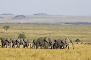 African Elephant<br /> Loxodonta africana<br /> Masai Mara Triangle, Kenya