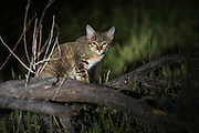 African Wild Cat (Felis lybica)<br /> Marakele Private Reserve, Waterberg Biosphere Reserve<br /> Limpopo Province<br /> SOUTH AFRICA<br /> RANGE: Absent from deserts & tropical forests but found throughout Africa