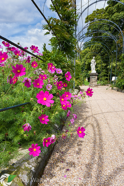Bright pink cosmos spill over the path on the Trellis Walk at Trentham Gardens, Staffordshire - photographed in August.