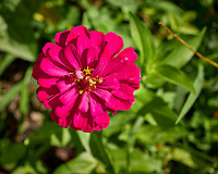 Zinnia Flower. Image taken with a Leica TL2 camera and 60 mm f/2.8 lens