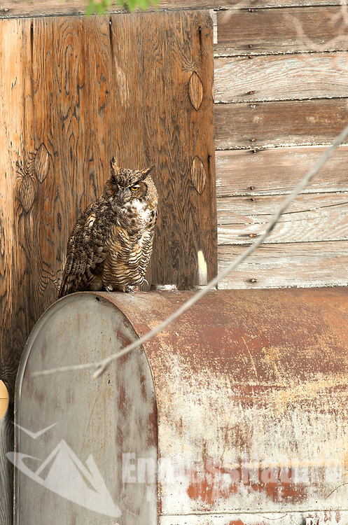 An old Great Horned Owl one eye looks battle scared sits on an old heating oil tank. They say owls are the souls of those that lived in this abandon farm house always watching over their home.