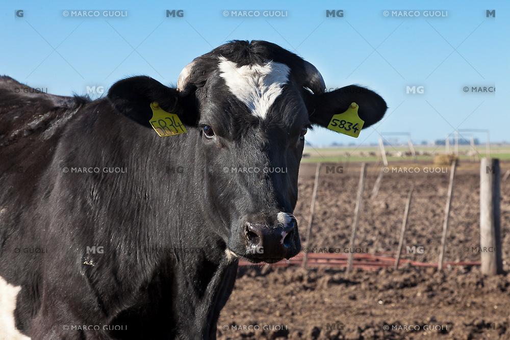 TERNERA HOLANDO-ARGENTINO EN UN TAMBO, PRIMER PLANO, PROVINCIA DE SANTA FE, ARGENTINA (PHOTO © MARCO GUOLI - ALL RIGHTS RESERVED)