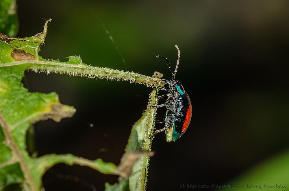 Leaf beetle [Aspicela bourcieri; Chrysomelidae]; Bellavista Cloud Forest reserve, Tandayapa Valley, Ecuador