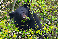 An Asian Black Bear (Ursus thibetanus, 黑熊) munching on leaves in a tree, 2015-04-16,  Tangjiahe Nature Reserve, Sichuan Province, China